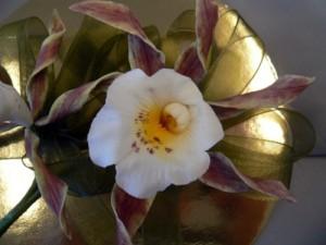 Corkscrew orchid